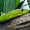 Green Mamba,   Dendroaspis angusticeps