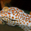 Tokay Gecko, Gekko gecko