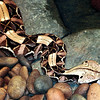 East african gaboon viperBitis gabonica gabonica