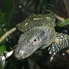 Crocodile Monitor Lizard, Varanus salvadorii