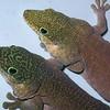 Standing's Giant Day Gecko, Phelsuma standingi