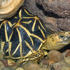 Indian star tortoise, Geochelone elegans