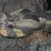 Many-horned Adder, Bitis cornuta