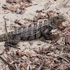 Black spiny-tailed iguana, Ctenosaura similis, male