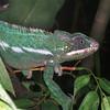 Panther chameleon, Chamaeleo pardalis