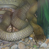 King Cobra, Ophiophagus hannah