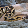 Madagascan Ground Boa, Acrantothis madagascariensis