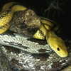 Yellow and everglade rat snakes, Elaphe obsoleta quadrivitta (yellow), E.o. rossalleni
