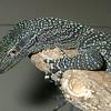 Crocodile Monitor Lizard, Varanus salvadorii