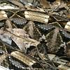 Gaboon Viper, Bitis