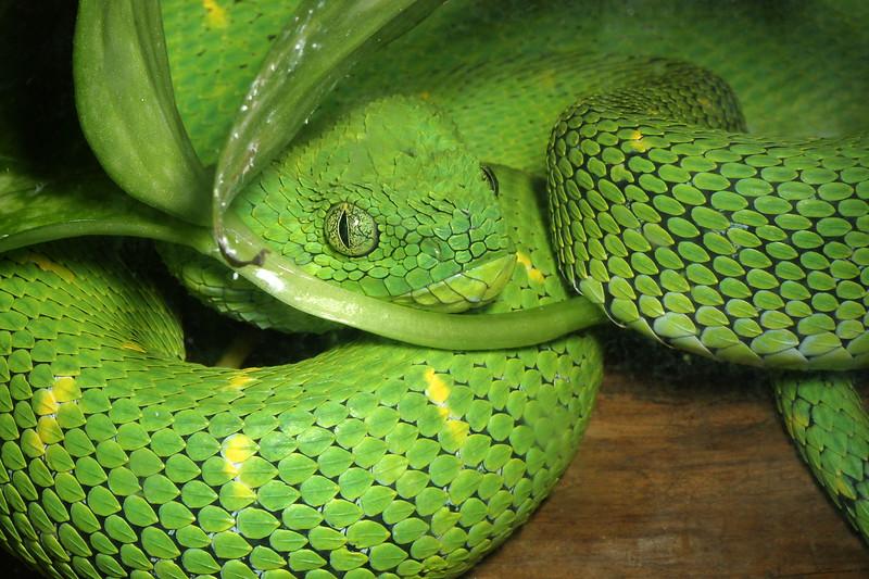 Green Bush Viper,   Atheris chlorechis