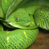 Green Bush Viper,   Atheris chlorechis