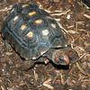 Cherry-Headed Tortoise, Red Legged, Geochelone carbonara