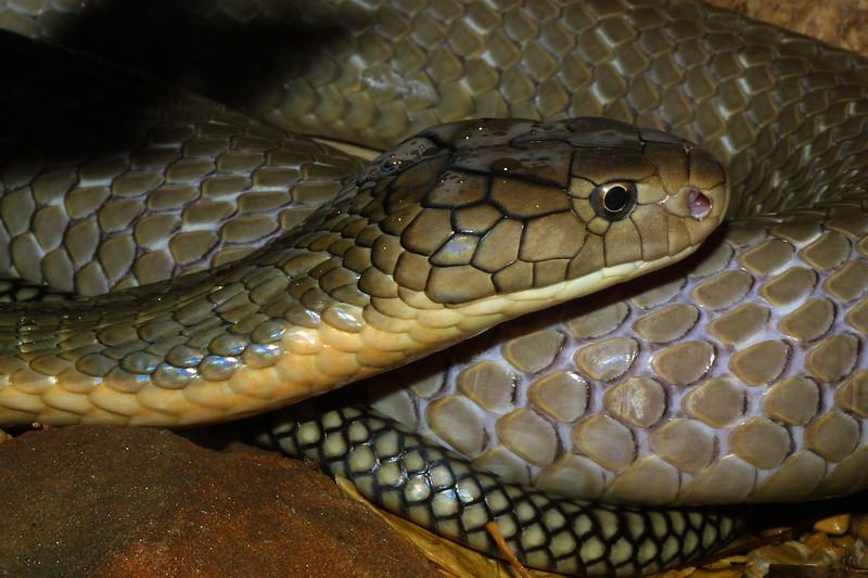 King Cobra, Ophiophagus hannah