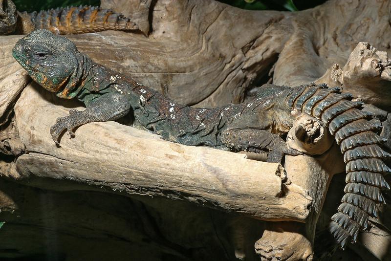 Spiny-tailed lizard, Uromastyx sp.