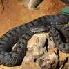 Caucasion long-nosed viper, Vipera ammodytes transcaucasiana