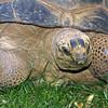 Galapagos Aldabra tortoise, Geochelone gigantea