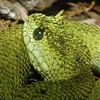 Usambara Mountain Bush Viper, Atheris ceratophorus