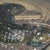 Shingleback skink, Trachydosaurus rogosus