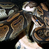 Rock Python, Python sebae