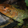 Caiman Iguana,   Dracaena guianensis