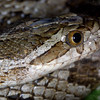 Gray Rat Snake, Elaphne obsoleta