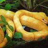Eyelash viper, Bothriechus schlegeli