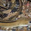 Trans-Pecos Rat Snake, Elaphe subocularis