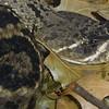 Eastern Diamondback, Crotalus adamanteus