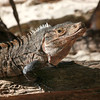 Black spiny-tailed iguana, Ctenosaura similis