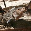Black spiny-tailed iguana, Ctenosaura similis