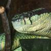 Sri Lankan Pit Viper, Trimeresurus trigonocephalus