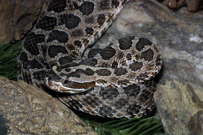 Western Massasaugua, Sistrurus catenatus tergeminus