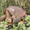 Giant Galapagos Tortoises, Lonesome George, Geochelone abingdoni