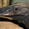 Rough Necked Monitor, Varanus ruticollis
