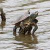 Northern Map Turtle Graptemys geographica