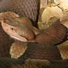 Broadbanded Copperhead Snake, Agkistrodon contortrix lacticinctus