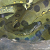 Green Anaconda, Eunectes murinus