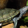 Cagle's Map Turtle,   Graptemys caglei