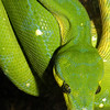 Green tree pythonMorelia viridis