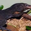Black Tree Monitor, Varanus beccarii