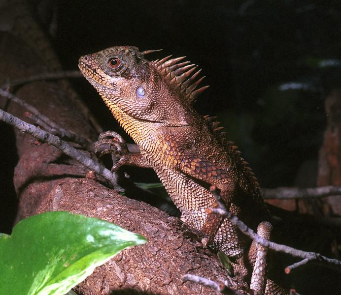 Montane Horned Lizard, Acanthosaura armata