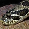 Western Hognose Snake, Heterodon nasicus nasicus