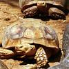 African spurred tortoise, Geochelone sulcata