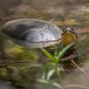Blanding's Turtle, Emydoidea blandingii