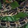 Lowland Swamp Viper, Atheris superciliaris