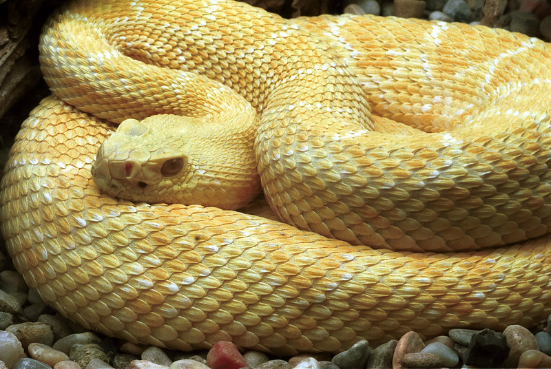 Albino diamondback rattlesnake, Crotalus atrox