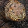 Galapagos Land Iguana, Santa Fe, Conolophus pallidus
