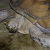 Galapagos tortoise, Geochelone elephantopus