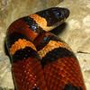 Mexican Milk Snake, Lampropeltis triangulum annulata
